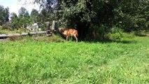 Deer Running Through the Field