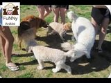Top 10 Funny Animals Funny Animal Pictures Dogs Funny Clips Comedy Fails and Bloopers.mp4