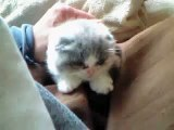 cotton 9(scottish fold kitten - female)