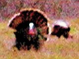 Thanksgiving Turkey & bear wolf white deer buffalo wolverine moose coyote red-tailed Hawk