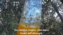 Mosca dell'olivo e la mosca della frutta trappole fatte in casa molto efficace.