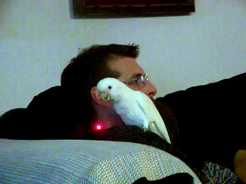 Cockatoo parrot with a laser pointer