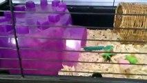 Guinea Pig Fun Facts + Good News