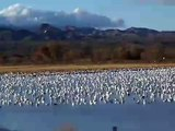Snow geese, Bosque del Apache New Mexico 2008