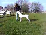 Dogo Argentino Perro Pelea Cordobes Huanco 6  month