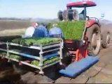 Big dry brings price boon for Qld lettuce growers