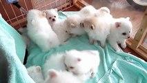 16 chiots esquimau dans une animalerie