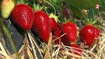Les Alsaciens adorent leurs fraises locales