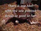 CLEAR video of Miniature Horse Birth: Dam=Wee Wees Magic Lady
