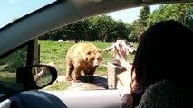 Un ours fait coucou