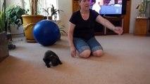 Weimaraner Puppy meets kitty