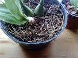 Alternativas de cultivo en mis orquideas de casa.