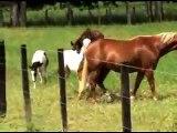 BIG RANCH PAINT & QUARTER HORSES * Venezuela *