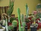 Jēkabpils pilsētas svētki sākas ar kaktusu izstādi Krustpils pilī