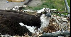 Hellgate ospreys May 30th 2015 ** Now it's all about the eggs **