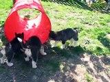 Siberian Husky puppies 6 weeks old, Happy & Caddies