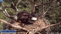 Berry College Eagles 5/14/2015 Mom and Fledgling In The Nest