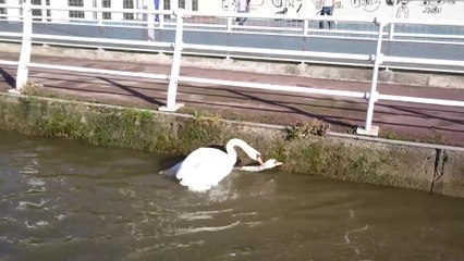A swan beats another - Battle of swans - wild life