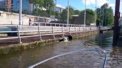 Un cisnes batalla increíbles