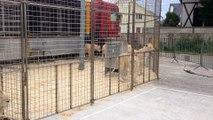 Les célèbres lions blancs du Cirque Pinder, à Dijon