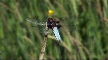 Haiku video n°5 - Libellule - Odonata - Libellula quadrimaculata