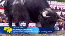 Cow Fighting in the Swiss Alps: Alpine village of Aproz in Switzerland hosts cow fighting finals
