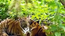 MONKEY DEFEATS TWO TIGERS - slaps, pulls their ears & tail and scares them away
