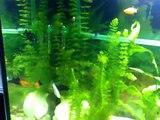 aquarium,gesellschaftsaquarium mollys, guppys, schwertträger, platys lebendgebährende