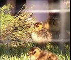 Red Grouse Chicks feeding 0001