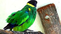 Parrot - Port Lincoln Ringneck in Opole Zoo Papuga - Rozella Czarnogłowa w Zoo Opole