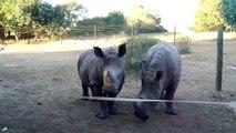 Petits cris de bébés rhinocéros... Trop mignon!