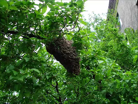 Collecting a honey bee swarm