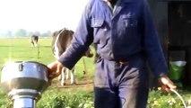 Koeien melken in Ransdorp
