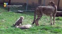 Bébés guépards nés au Safari de Peaugres