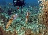 Little Cayman Beach Resort - Caribbean Reef Squids