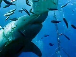 Le plus gros requin blanc du monde aperçu sur une île au Mexique