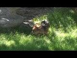 Mini-Bambi : ce pudu qui vient de voir le jour est le plus petit cervidé au monde