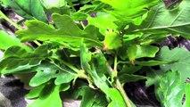 Världens största vandrande blad (pinne) Phyllium Giganteum