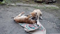 Cute Little Indian Puppies Playing with Jute Sack #2