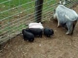 Baby Mini Pigs FOR SALE