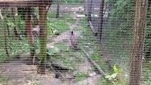 Chat de Geoffroy, Parc des Félins