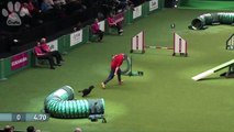 Agility - Exclusive Behind The Scenes at the Small Dog Final | Crufts 2014