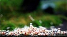MK-BREED CRS CENTER SHRIMP FOOD (RED DIAMOND)