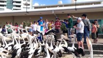 Pelican Feeding @ Charis, Surfers Paradise, Gold Coast