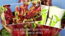 Plante carnivore : le sarracenia