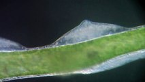 Hydra viridis, ampoules testiculaires