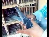 Pigeons voyageur Maroc-kenitra sabar youness 00212626249730 حمام زاجل palomas mensaje