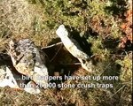 Tendelles - stone crush traps for birds used in France / a CABS video / Steinquetschfallen