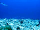 Plongée avec requins Maldives 2008