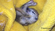 Sleepy dreaming baby ground squirrel